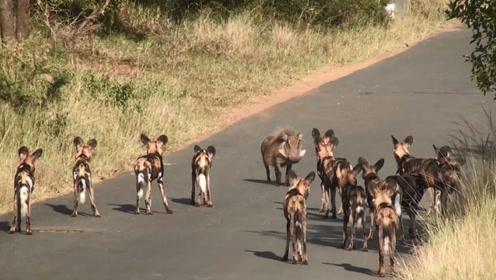 野猪被一群野狗拦住去路,本以为是一场大战,下一秒是这样
