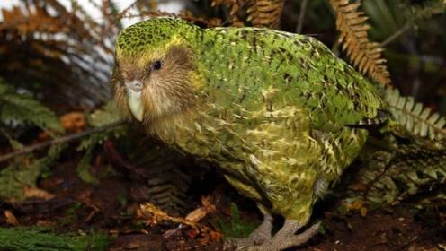 世界上最蠢的鸟,有翅膀偏偏不会飞倒学会了爬树,还把老鼠当求偶对象!