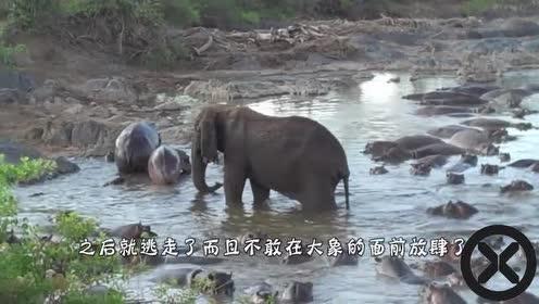 小象被3头狮子盯上扑倒在地!象群看见后混战!场面极度震撼!