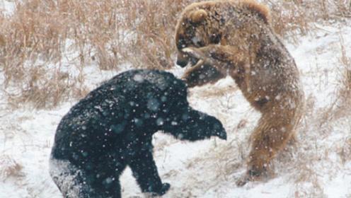 """都是""""熊""""字辈,当棕熊、狗熊和北极熊发生肉搏战,谁能赢?"""
