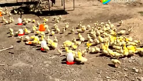 训练有素的小鸡 居然能听懂人话