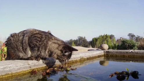 两只猫配合去抓锦鲤,却遭到一条梭子鱼窜出水面攻击