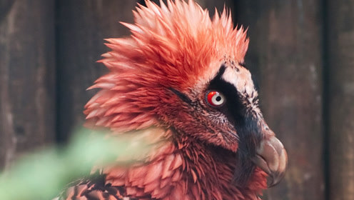 唯一以骨头为主食的猛禽,会从高空扔下骨头砸碎骨头