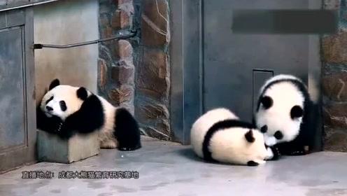 小熊猫的日常生活,好慵懒