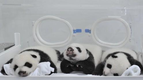 熊猫三胞胎成长记,从拇指大小经过100天长成100公斤的大胖子