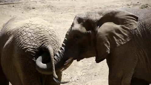 慎点!大象把鼻子伸进同伴肛门 掏取粪便食用