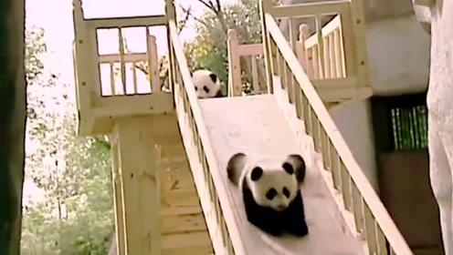 可爱的国宝大熊猫到底是熊还是猫呢?