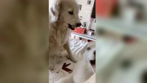 小二哈乱吵吵,大金毛狗狗快生气了