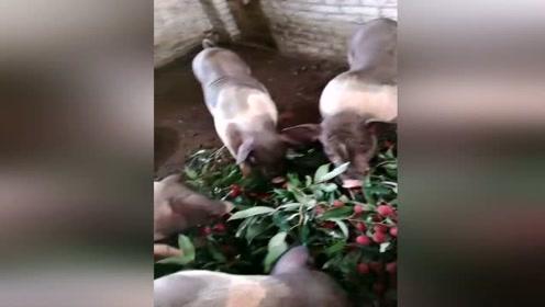 荔枝滞销?5毛1斤没人要果农将荔枝喂猪吃了