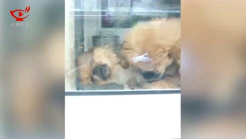 心酸!希腊宠物商店内一小狗舔死去兄弟盼其复活