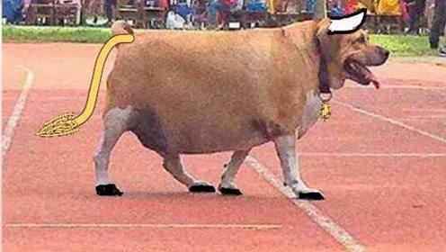 """万千宠爱于一身!校犬长得太可爱被学生喂成""""牛"""""""
