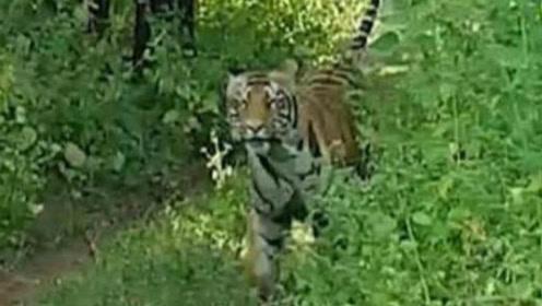 印度游客被母老虎追逐狂叫 导游淡定称:它开玩笑