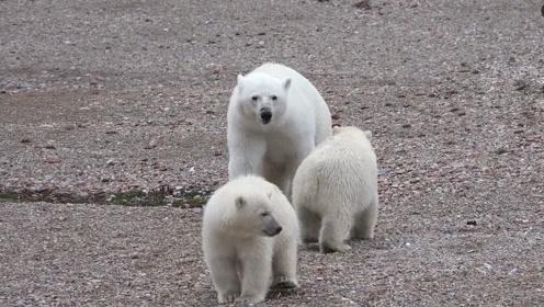 在北极和因纽特人露营,食物要和北极熊分享?