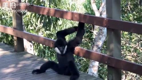 野象谷一头亚洲象都没看到 却意外遇见了濒临灭绝的猿—白颊
