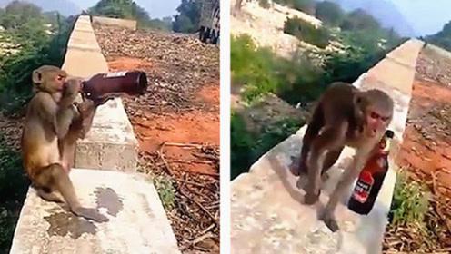 印度一猴子抢啤酒上墙独自畅饮 游客无奈奉送薯片