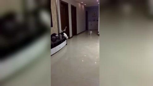 猫咪在家里这是表演了一个杂技吗?