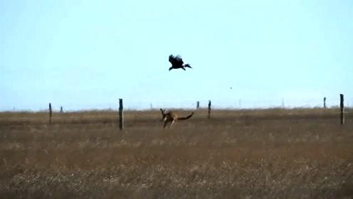 实拍楔尾鹰攻击袋鼠惊险瞬间