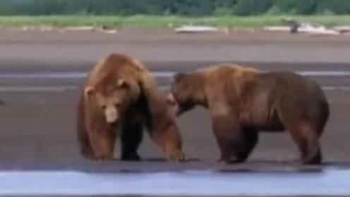 熊二和熊大打起来啦!普及一下,棕熊又叫罴,这是虎豹最怕的动物