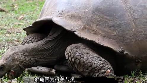 为了下一代,象龟那啥太频繁患上关节炎,后半身靠轮子爬动!