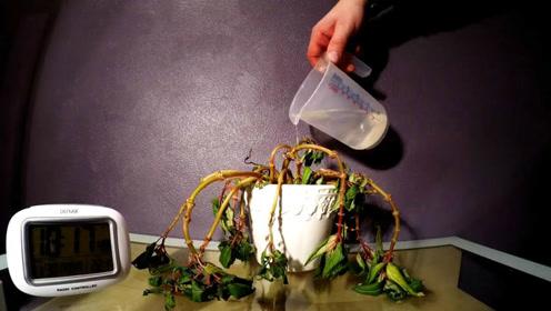 给枯萎的植物浇完水后重获新生 镜头记录下全过程