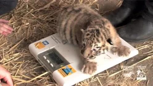 女子救了只小老虎,没想到多年后再见,大老虎这样对她