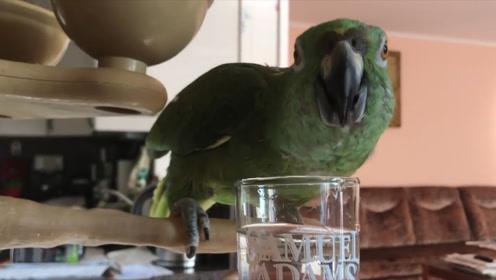 当鹦鹉喝了白酒后,接下来的举动,请憋住别笑