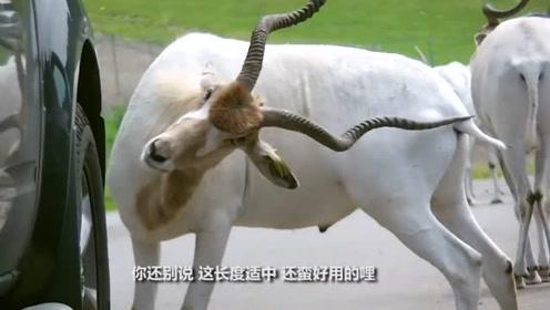 羊觉得身上有点痒,接下来憋住别笑,网友:头上有角就是好