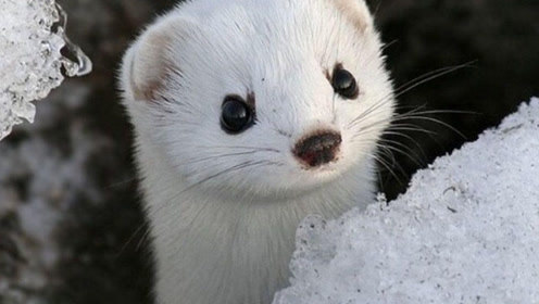 洗澡中的小雪貂:我是一棵没有灵魂的海草海草
