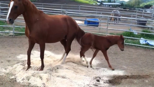 小马太调皮,马妈妈脾气上来一脚踹它屁股上,下一秒情憋住别笑