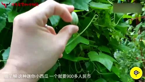 全球最小的西瓜,一个还没葡萄大,凭啥卖出900块天价?