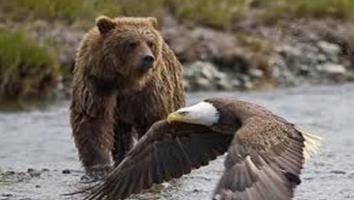棕熊刚爬上岸休息,不料被老鹰偷袭后脑勺,熊:有本事你下来