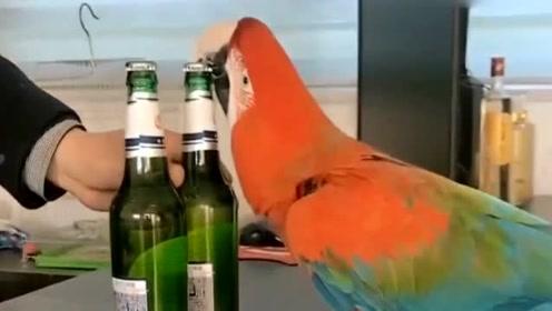 活了几十年了,第一次见鹦鹉开瓶盖!真是长见识了!