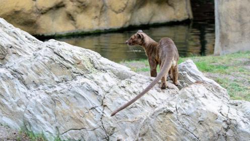猫鼬为了捉住大鸟手法十分独特,下一秒绝对让你大笑