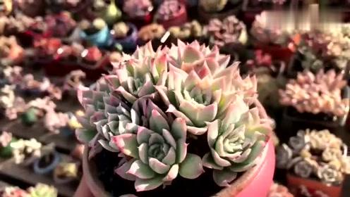 多肉植物鉴赏--玫瑰女王