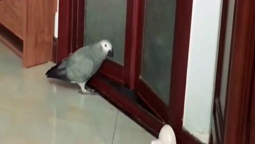 鹦鹉:没办法啊!为了能够有肉吃,我也只好做一次卖唱的了!