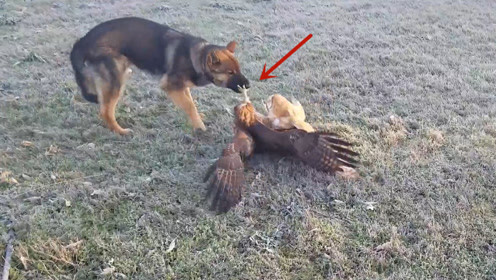 老鹰和猫头鹰打架,却被狗狗发现,镜头记录搞笑的一幕