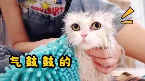 戏精小猫咪拒绝洗澡大声骂街,最后还骗吃了三条营养膏才让吹毛