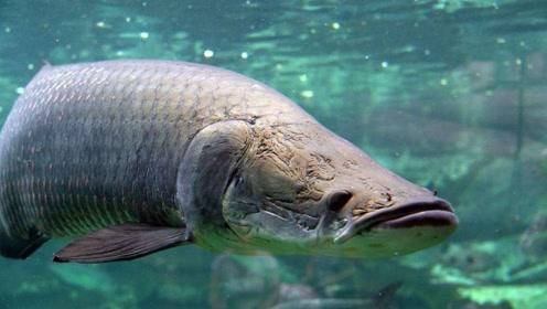 水中巨霸孤身击退百只食人鲳尽展雄风,曾与恐龙同存