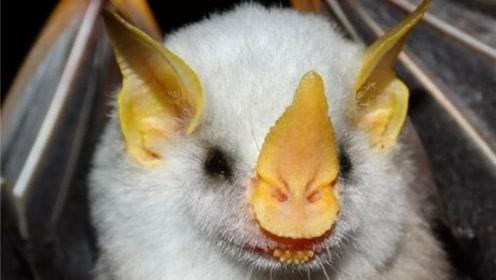 奇异蝙蝠神似猪猪,卖萌为宠放弃吸血本能
