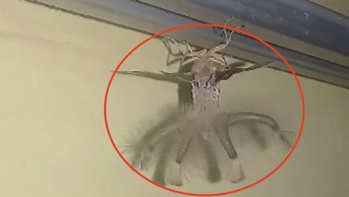 印尼一男子家现神秘怪虫,外貌神似外星人,腹部怪异触手竟可隐藏