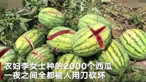 一夜之间种的2000个西瓜遭砍坏,这么做的人还有良心吗?
