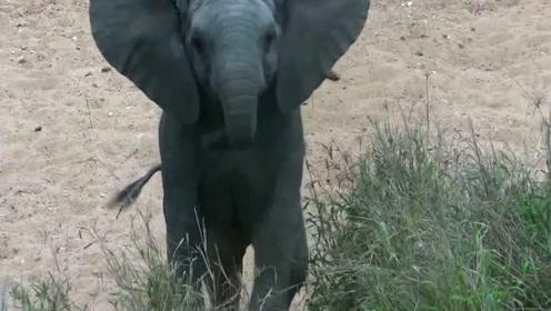 一只小象发现摄像师,萌萌哒靠近