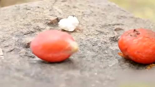 苏铁结的果子可不可以吃