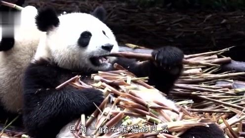 """动物园的熊猫成精了,自己拉门""""下班"""",真怀疑是不是人扮的!"""