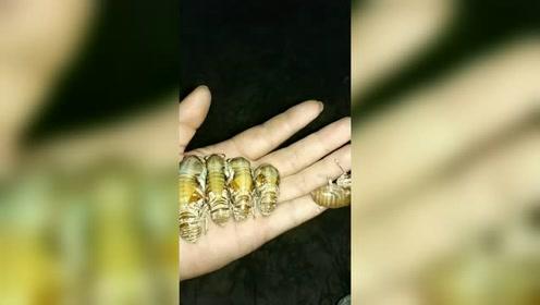 发现更多有趣 种些金蝉吃