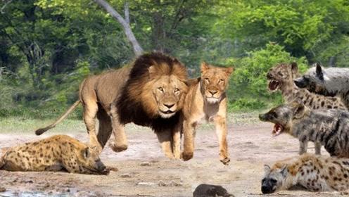 成群鬣狗抢夺母狮猎物,下一刻却被狮王咬死雪恨!真是大快人心