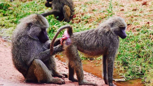 为何狒狒臀部总是又红又肿?说出来好尴尬,看完不厚道地笑出声!