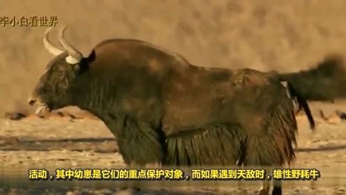 """中国最""""凶悍""""的一种牛:舌头都是武器,已列入我国一级保护动物"""