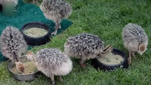 几种动物的幼崽,谁才是最可爱?有的动物却越长越丑!