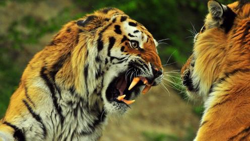 如果把两只老虎放到非洲大草原上,它们能够存活下去吗?